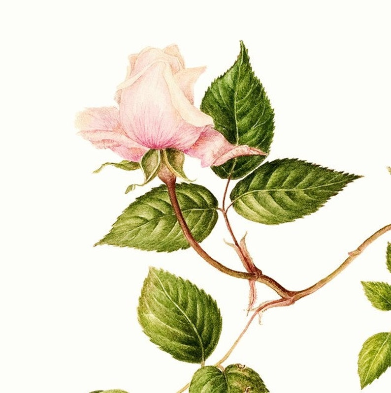 Full colored pencil /& graphite illustration services scientific illustrator available for hire Botanical artist Custom projects welcome.