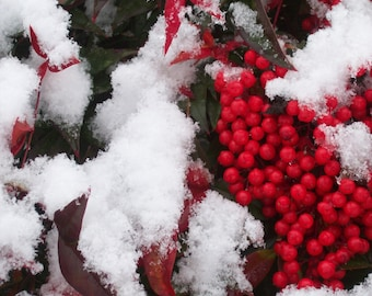 Christmas Holly Berries in Snow Photography Print, Available in 5x7, 8x10, and 11x14 Inches