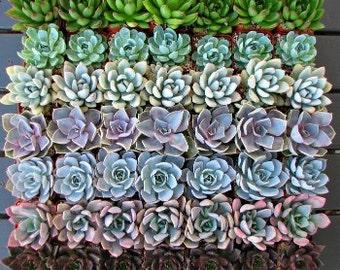 100 Premium Succulent Rosettes for Events and Weddings