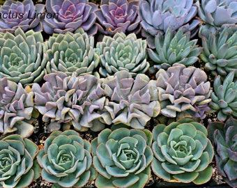 25 Succulent 4 inch pots large Rosettes