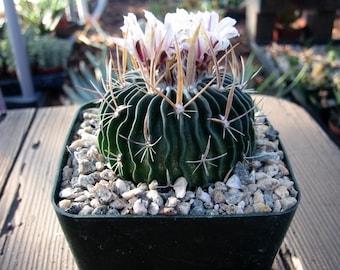 Echinofossulocactus  Cactus Plant