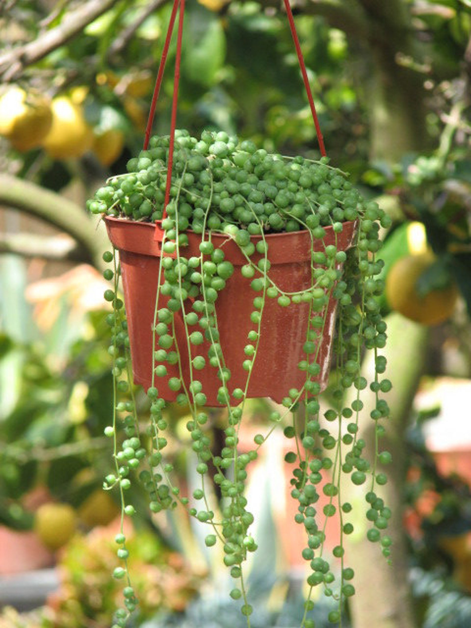 string of pearls succulent - 570×760