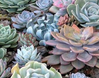Succulent 8 Rosette Designer Mix Plants