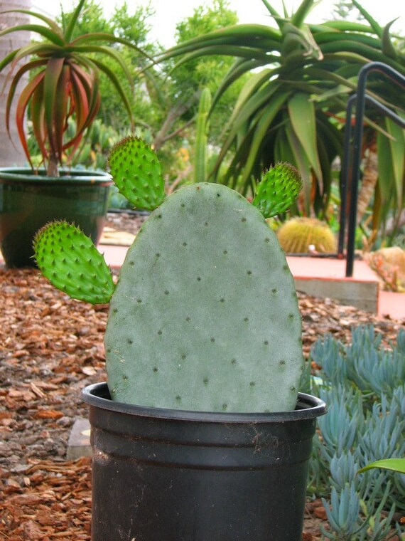 Opuntia Subviolata Cactus Plant