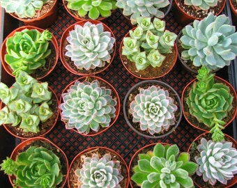 Succulent Rosette 16 Mixed Succulent  Plants 4 inch pot.