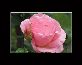 Pink Rose and Bud at Rodin Museum, Flower Photography Print, 8x10 matted to 11x14, or 5x7 matted to 8x10, Home Décor, Wall Art