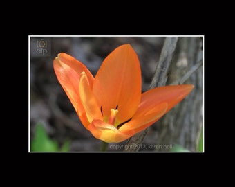 Open Orange Tulip Delicate Flower Photography Matted Print, Home Décor, Wall Art