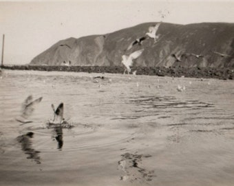 Vintage Photo Seagulls Flying and Diving into the Water 1950's, Original Found Photo, Vernacular Photography