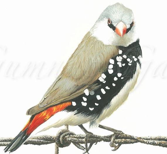 Signed A4 Print Diamond Firetail Finch Bird Art Feathers Etsy