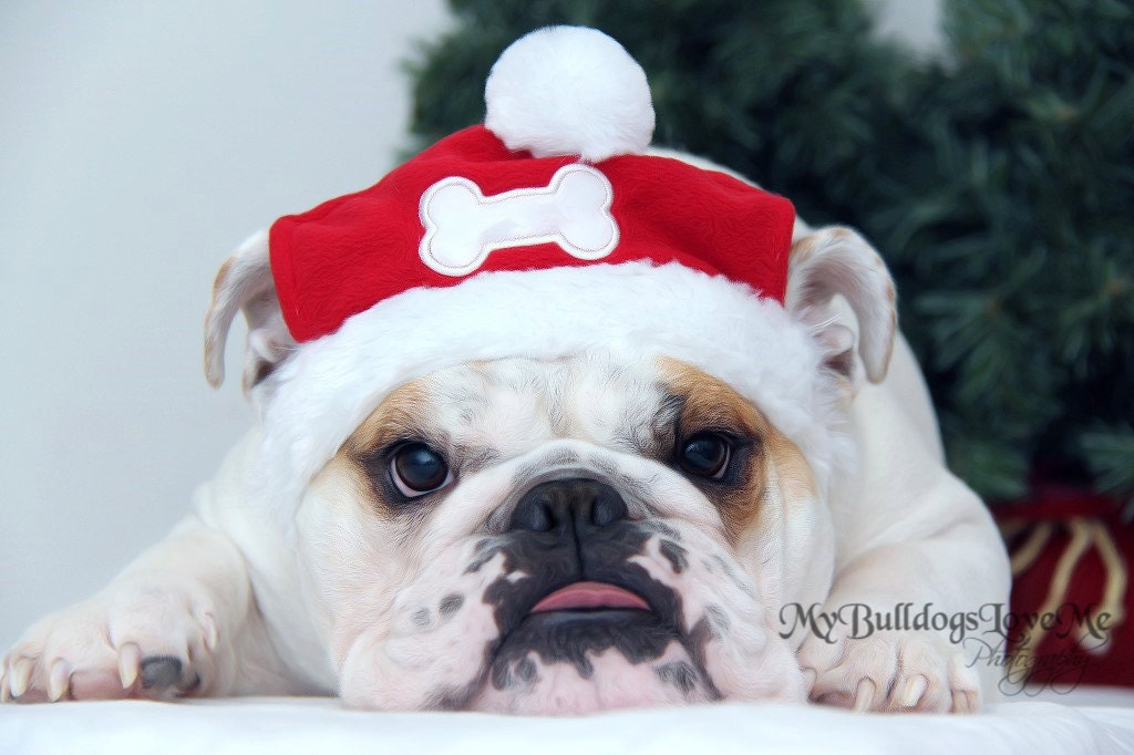 Card 21 / Santa Paws English Bulldog Christmas Greeting | Etsy