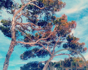 Cedars, Toulon, South of France