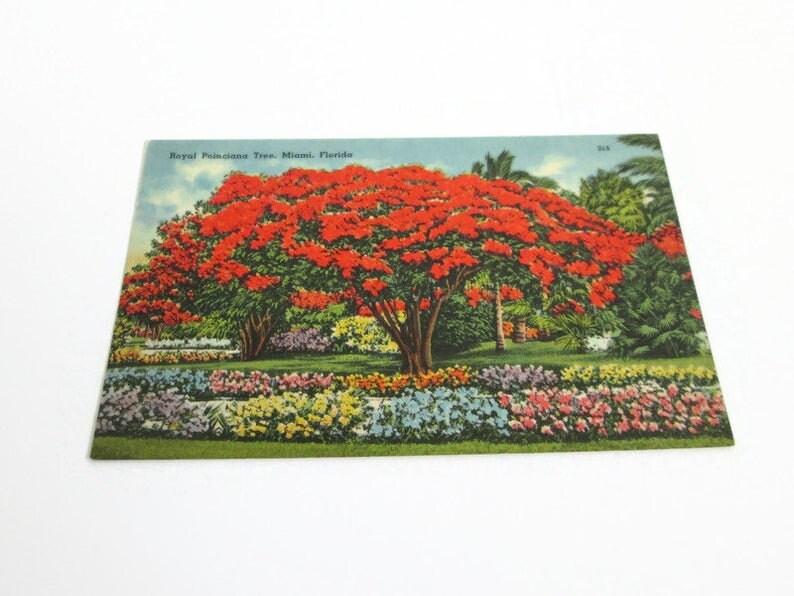 Miami FL 315 Florida Post Card Tichnor Bros Quality Views 67825 Eli Witt Cigar /& Tobacco Co Royal Poinciana Tree