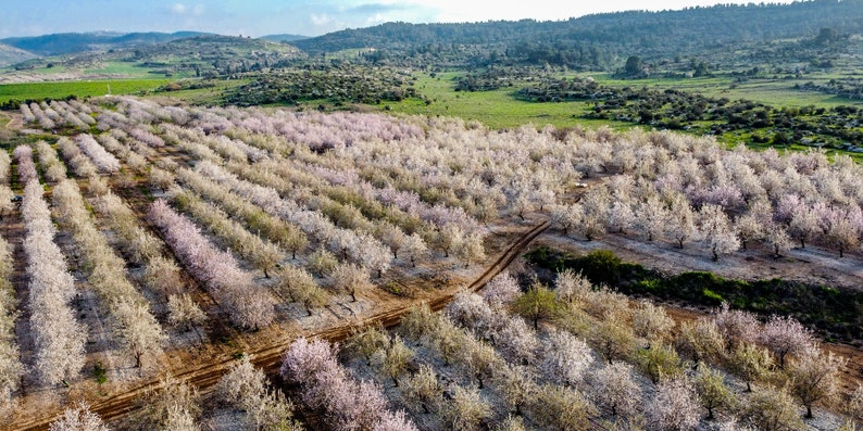 Almond Blossom Spring Trees Aerial View Panoramic Blooming Almond Trees Landscape