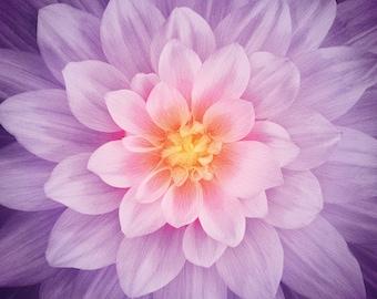 "Orchid Dream Big - Dahlia Print - Hoffman Fabrics -  Digital Print Fabric 4389H 223 Purple Orange - 43""x43"" Square"