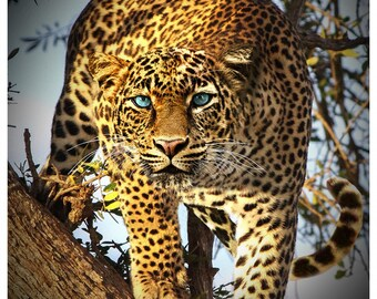 Leopard - Call of the Wild - Hoffman - 4838 686 - Priced by the 31-inch Panel