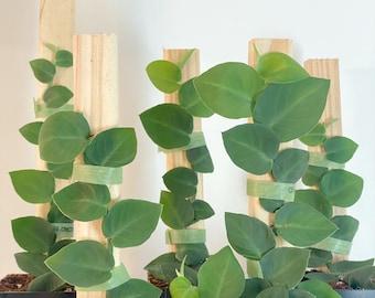 Rhaphidophora Hayi Shingle Plant, Rare House Plant, Shingling Plant, Multiple Sizes