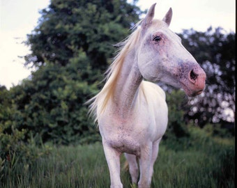 Coupon Code 1STPURCHASE, Color Photography, Equine, White Horse, Breeze, 8x8 Print, Home Decor, Wall Art