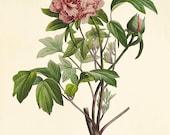 Pink Peony art print antique prints flower art print botanical art prints Vintage prints Victorian art French prints garden wall art flower