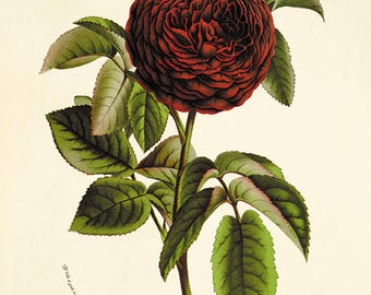 Red Rose print antique prints decor Flower decor botanical print Garden print Victorian art Flower art print French decor Cottage art