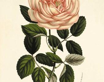 Rose Vintage flower art  print antique wall decor Flower decor botanical prints Garden print Victorian art French decor Cottage art