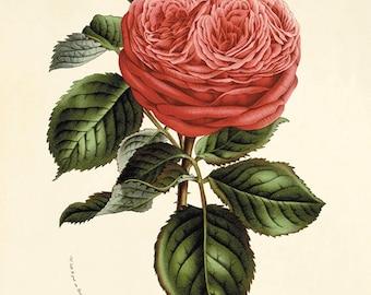 Red rose print antique flower art print antique wall art Flower decor botanical prints Garden print Victorian art French decor Cottage art