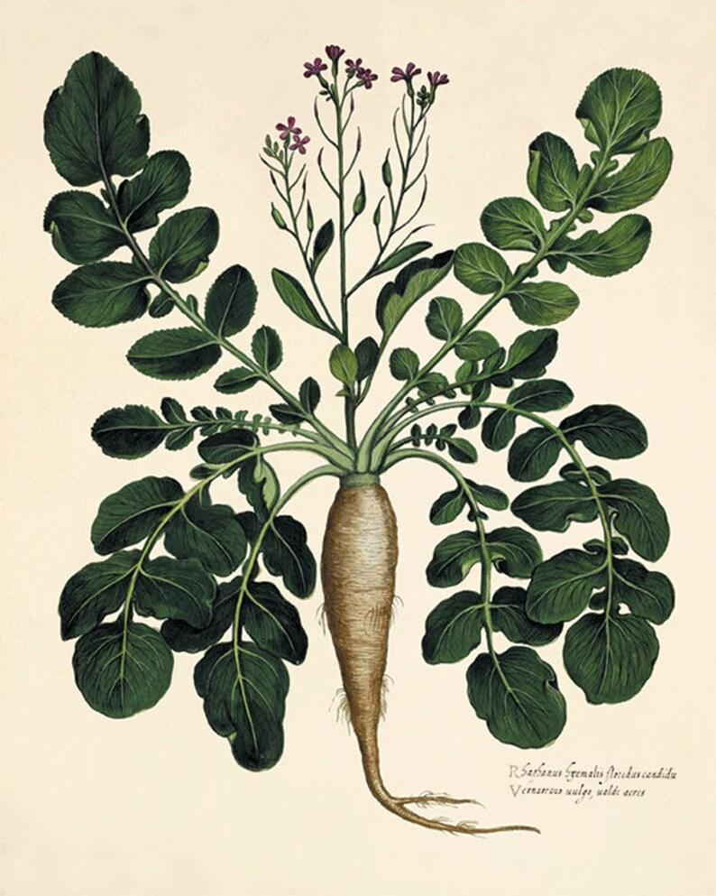 Antique botanical print Botanical art prints vegetable art  wall art botanical poster kitchen art print antique wall art home decor wall art