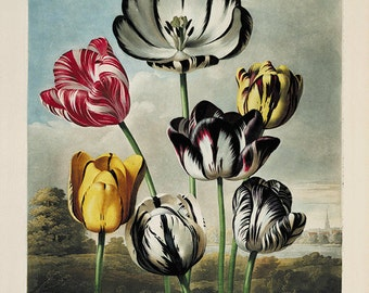 Tulip art print Antique prints flower art print botanical art print garden wall art flowers home decor wall art French prints Victorian art