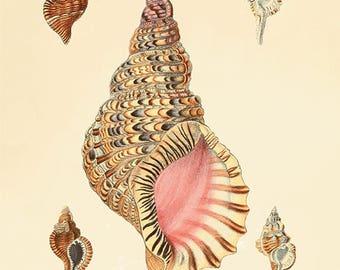 Sea shell print Beach decor art nautical print Natural History antique wall art Victorian print French art print Sea beach art Ocean print