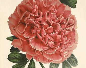 Pink peony art antique flower art print antique wall art vintage Flower decor botanical prints Garden print Victorian print home decor art