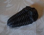 Trilobite Fossil | Prehis...
