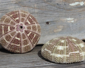 Summer 10pc Tan Turretella Shells 1-3 Nautical Shells Beach Wedding Jewelry
