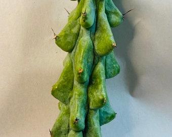 myrtillocactus geometrizans (boobie cactus)