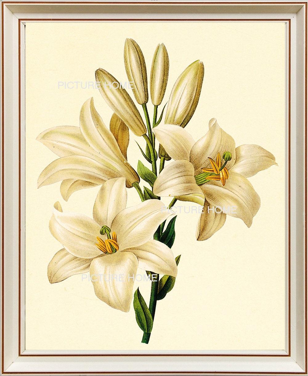 Weiße Lilie Blume botanischen Drucken 89 schöne 8 X 10 antike