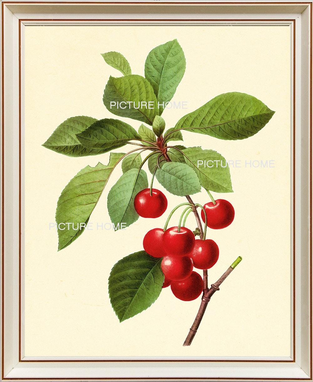 Rote Kirsche botanische Print 24 schönen 8 X 10 antike   Etsy