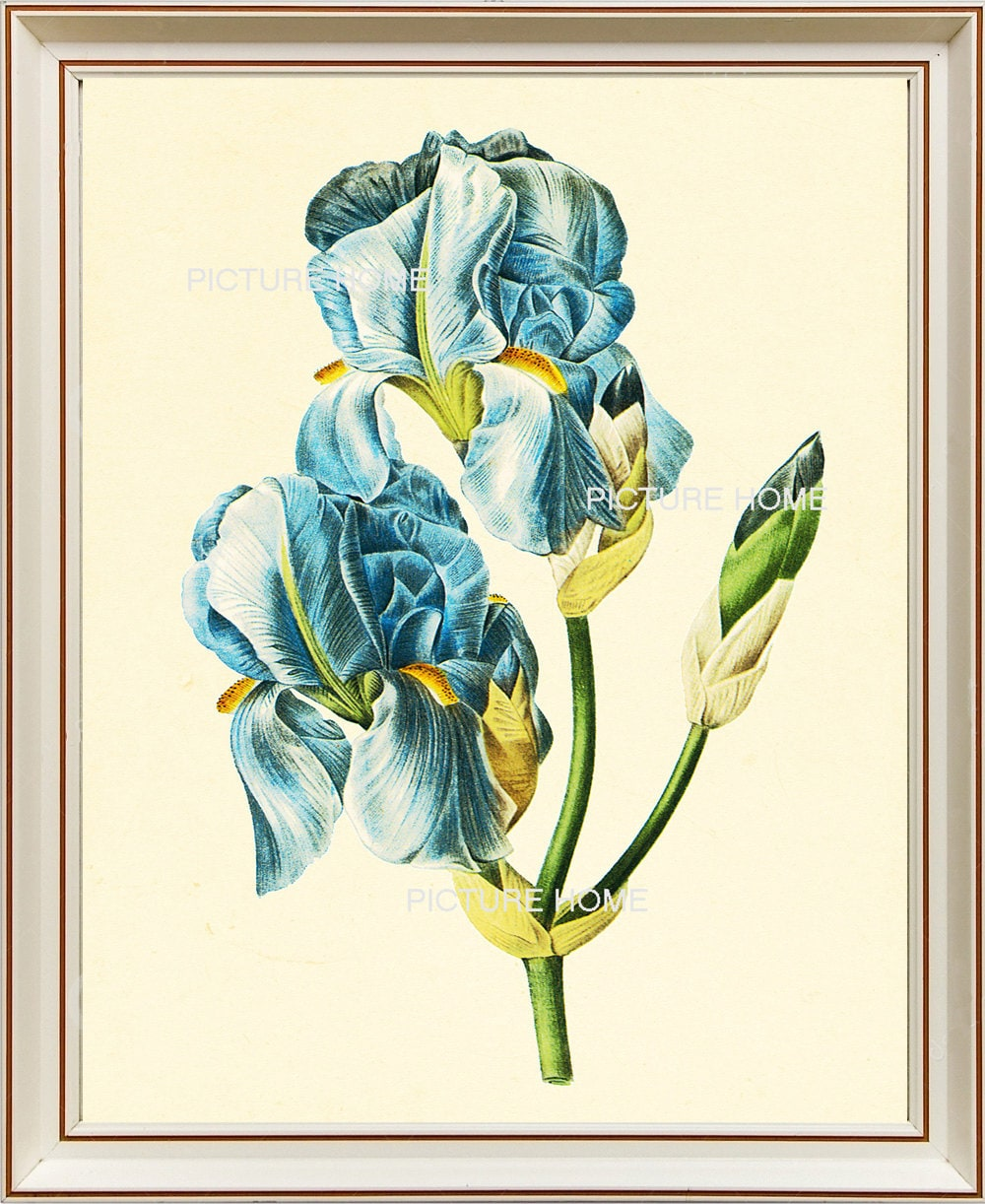 Blaue Iris botanischen Drucken 67 schöne 8 X 10 antike Redoute