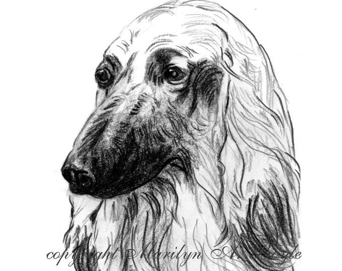 Print-AFGHAN DOG PORTRAIT; charcoal head study, wall art, 8 x 10 on 98 lb Canson mix media art paper, from originla art, black and white