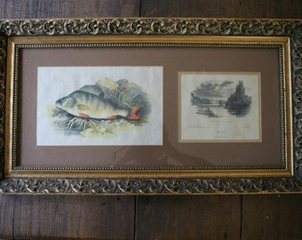 Lydon Chromolithograph Engraving Perch Fish Coloured Natural History Freshwater Fishing Pictures British Freshwater Fishes Wall Decor Art