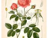 KOHLER Botanical Print 11x14 Antique Art Print Vintage Plate Chart Red Pink ROSE French Summer Garden Flowers Kitchen Wall Art Decor LBF0741