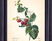 REDOUTE Antique French Fruit Print Red RASPBERRY Raspberries 8x10 Art Print Vintage Botanical Plate 40 Summer Garden Home Wall Decor FV1327