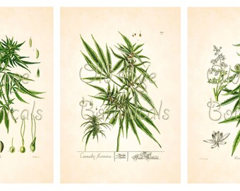 CANNABIS set of 3 Botanical Art Prints 13x19 XSO0018