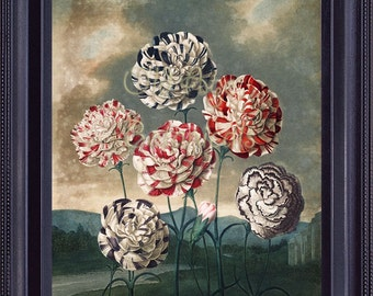 Vintage THORNTON Print 8x10 Group of Carnations Botanical Antique Art Blue White Red Flowers The Temple of Flora 1807 Beautiful BF0056