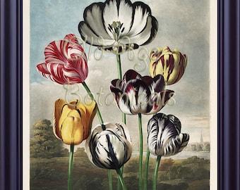 Botanical 11x14 Print TULIPS Art Painting THORNTON Vintage Flowers Plate The Temple of Flora 1807 Antique Engraving LP0052
