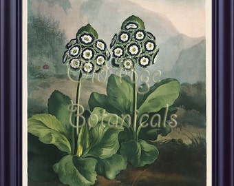 Botanical THORNTON Print 11x14 Group of Auriculas Vintagel Antique Engraving Art Blue White Flowers The Temple of Flora 1807 Large LP0054
