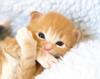 Close-up Photograph of Ginger Rescue Kitten
