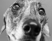 Greyhound Gaze, Dog Photograph, Black and White Brindle Greyhound Picture, Pet Photography, Greyhound Photograph, Greyhound Gift, Portrait