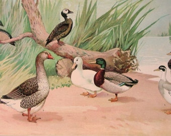 Ducks Zoological Chromolithograph from the 1905 International Encyclopaedia