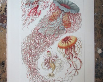 Medusa and Siphonophora Chromolithograph from the 1905 International Encyclopaedia