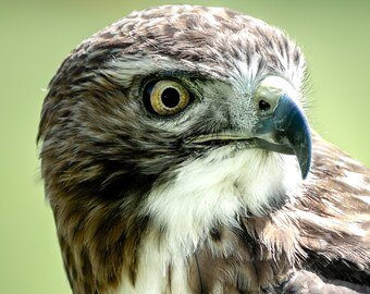 Red tailed hawk - photographic print, close up in various sizes, bird of prey photography