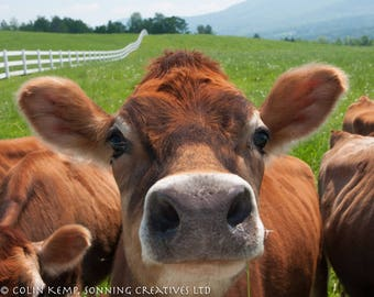 Jersey Cow photographic print, Vermont cows gift for animal lover,