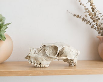 Authentic Deer Skull - Natural Bone Skull - Taxidermy and Curiosities - Rustic Primitive Southwest Decor